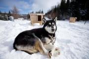 Les chiens de traîneau sont souvent en liberté,... (Photo David Boily, La Presse) - image 1.1