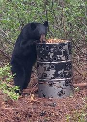 Les ours sur les sites de chasse sont... (Courtoisie) - image 1.0