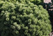 Le pin des montagnes (Pinus mugo) naturellement de... (Photo www.jardinierparesseux.com) - image 4.0