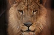 Le lion Simba... (AFP, SAFIN HAMED) - image 17.0