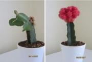Le cactus à gauche a rejeté son greffon... (Madeleine Bertrand) - image 7.0