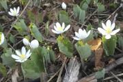 Vers la mi-avril, dans les clairières et sur... (photo fournie) - image 1.1