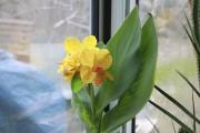 Il est facile de cultiver un canna à... (www.jardinierparesseux.com) - image 3.0