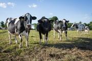 Pour plusieurs les vaches qui broutent font partie... (Photo Mathieu Waddell, Archives La Presse) - image 4.0