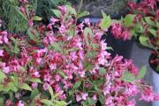 Weigela Sonic Bloom® Pink', un arbuste qui fleurit... (www.jardinierparesseux.com) - image 2.0