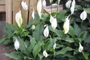 Le lis de la paix (Spathiphyllum) est un... (www.jardinierparesseux.com) - image 3.0