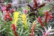 Les guzmanias (Guzmania) font d'excellentes plantes d'intérieur.... (www.jardinierparesseux.com) - image 4.0
