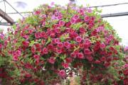 Un panier de calibrachoas (Calibrachoa), aussi appelés Million... (www.jardinierparesseux.com) - image 5.0