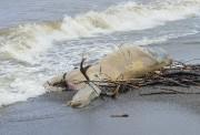 Une carcasse d'orignal s'est échouée sur les berges... (Le Quotidien, Gimmy Desbiens) - image 6.0