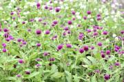Gomphrena globosaPing Pong™ Purple... (Claude Vallée) - image 10.0