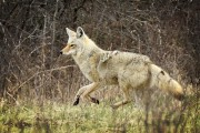 Un coyote blanc a voulu s'en prendre à... (La Presse, Bernard Brault) - image 3.0
