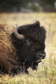 Les bisons se tiennent habituellement en groupe, mais... (La Presse, Bernard Brault) - image 4.0