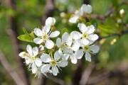 De la floraison jusqu'à la cueillette, les arbustes... (Terra-Boréal) - image 1.0