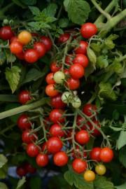 Belle, goûteuse, la tomate «Candyland» est extrêmement productive.... (Photo fournie par All America Selections) - image 2.0