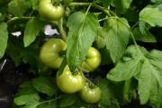L'horticulture, qui comprend la culture des légumes et... - image 1.0