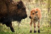 Un bison et son rejeton dans le Parc... (Photo Bernard Brault, La Presse) - image 2.0