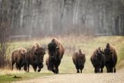 Après avoir été au bord de l'extinction, les... (Photo Bernard Brault, La Presse) - image 3.0