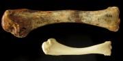 Cette photo montre un os de de dindon... (AFP) - image 2.0