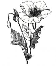 Un sirop de fougère pour traiter l'asthme, de la poudre de rhubarbe comme... - image 4.0