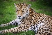 Jaguars, gorilles et léopards des neiges auront également... (Bertrand Duhamel, fournie par ICI Radio-Canada) - image 1.0
