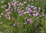 La ciboulette : jolie, productive et facile à... (www.jardinierparesseux.com) - image 3.0