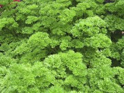 Le feuillage du persil frisé embellira tout contenant.... (www.jardinierparesseux.com) - image 5.0