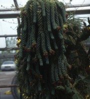 Le sedum burrito retombe en cascade de son... (www.jardinierparesseux.com) - image 7.0
