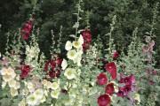 Rose trémière... (123rf/Victor Kulygin) - image 6.0