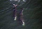 Depuis 2010, de plus en plus de baleines... (Archives ASSOCIATED PRESS) - image 4.0