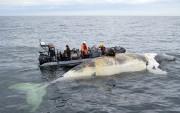 Les baleines pourraient être victimes d'un empoisonnement, selon... (Archives La Presse canadienne, Pêches et Océans) - image 2.0
