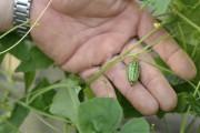 Le cucamelon, connu sous le nom de concombre... (Photo 123RF/Alfred Hofer) - image 3.0