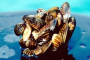 Menaçant les écosystèmes aquatiques depuis des années en région... (Archives PC) - image 3.0