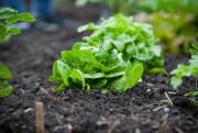 Certains légumes, comme les laitues et les épinards,... (Photo Sarah Mongeau-Birkett, Archives La Presse) - image 3.0