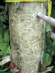Les larves creusent tellement de galeries dans le... (Forest Service, USDA) - image 2.0