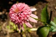 «Razzmatazz»:Cultivar issu d'Echinacea purpurea enregistré en 2003. Première... (Photo Armand Trottier, ArchivesLa Presse) - image 2.0