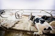 Les producteurs laitiers du pays sont inquiets à... (PHOTO ALAIN ROBERGE, Archives LA PRESSE) - image 1.0