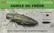 L'agrile du frêne n'a pas encore été aperçu... (François Gervais) - image 2.0