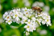 L'abeille n'est attirée que par le règne végétal.... (PHOTO DAVID BOILY, ARCHIVES LA PRESSE) - image 1.0