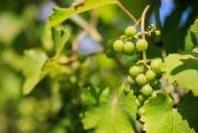 Le vignoble Saint-Thomas cultive des variétés hybrides, typiques... (Photo Edouard Plante-Fréchette, La Presse) - image 1.1