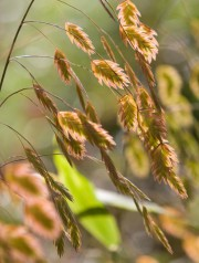 Chasmanthium latifolium... (PHOTO ROBERT SKINNER, ARCHIVES LA PRESSE) - image 1.1