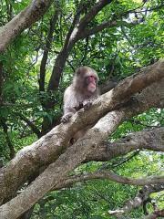 Un macaque auparc Iwatayama... (PHOTO JULIE ROY, COLLABORATION SPÉCIALE) - image 4.0