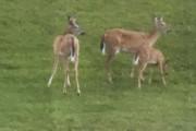 Trois cerfs ont pique-niqué la semaine dernière sous... (La Tribune, Jacynthe Nadeau) - image 1.1