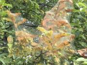 Un nid de chenilles à tente estivale... (fournie par G. Barriault) - image 3.0
