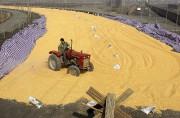 Un fermier étend sa récolte de maïs au... - image 3.0