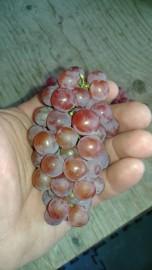 Le Somerset, un raisin rouge sans pépin.... (Photo tirée de la page Facebook de la ferme François Bélanger) - image 4.0