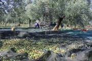 Un olivier ne produit qu'autour de cinq litres... (Photo fournie par Mariangela Favuzzi) - image 2.0