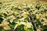 Le poinsettia est une plante tropicale qui craint... (Photo David Boily, La Presse) - image 3.0