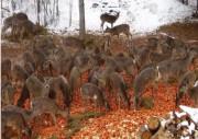 Les chevreuils sont souvent attirés par dizaines sur... (Photo fournie par le ministère des Forêts, de la Faune et des Parcs) - image 1.1