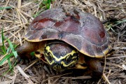 La nouvelle espèce de tortue, dite mangeuse d'escargot,... (Montri Sumontha, WWF via AFP) - image 1.0