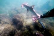 La découverte de ces bébés requins marteaux est... (Pablo COZZAGLIO, AFP) - image 1.1